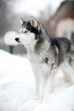 Husky dog in the snow Stock Photos