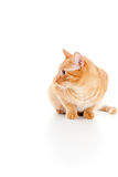 Adult beautiful red cat  Stock Images