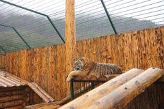 Adult beautiful young tiger lies stock photos