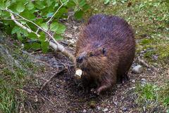 Adult Beaver Royalty Free Stock Image