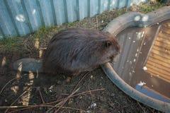 Adult beaver animal Royalty Free Stock Photos