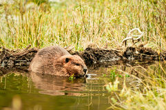 Adult beaver eating a plant on Isla Navarino, Patagonia. Beaver in water in the evening. Royalty Free Stock Photography