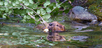Adult Beaver Royalty Free Stock Photography