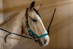 Beautiful Azteca horse in cross ties Royalty Free Stock Photo