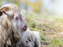 Adult big horned goat relax on pasture in clear day. Stock Photography