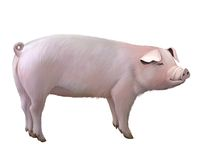 Adult big pig Royalty Free Stock Photography