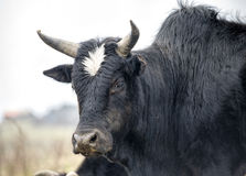 Adult Big Yak Head Royalty Free Stock Photography