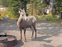 Adult Bighorn Sheep at campground in Two Medicines Lake region in Glacier National Park in Montana USA. Adult Bighorn Sheep at campground in Two Medicines Lake Stock Photos