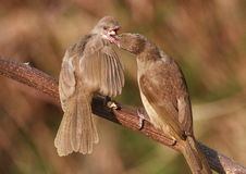 Adult Bird Feeding Young, Banana. 59-7 Jpg Royalty Free Stock Photo