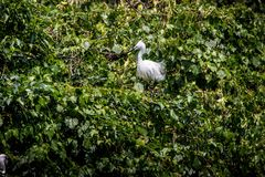 Adult bird white Egretta Garzetta on the tree. Little egret at Park Taipei city royalty free stock image