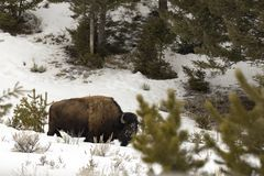 Adult bison eating in snowy field in Yellowstone National Park, Royalty Free Stock Photography