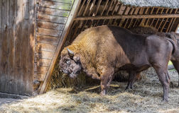 Adult bison eats straw Stock Image