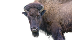Adult Bison Isolated on White Stock Photos