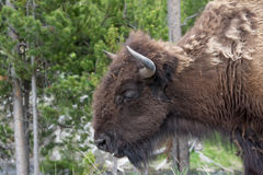 Adult Bison on the Move. The bison at Yellowstone National Park were one of my favorite things to photograph. They had such character and were so photogenic. It Royalty Free Stock Photos