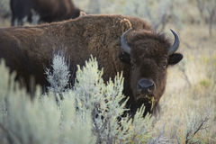 Adult bison stands among sagebrush in Yellowstone National Park, Stock Photo