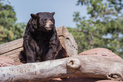 Adult black bear Stock Images