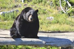 Adult Black Bear. And adult black bear takes a rest after a long walk Stock Images