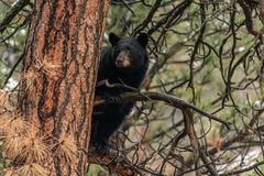 An Adult Black Bear in a Tree stock images