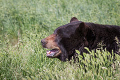 Adult black bear Royalty Free Stock Photography