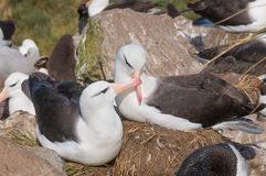 Adult black browed albatross courtship display Stock Images