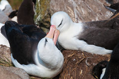 Adult black browed albatross courtship display Stock Photography