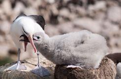 Adult Black-browed Albatross feeding chick on the nest, New Island, Falkland Islands royalty free stock photo
