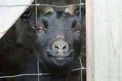 An adult black cameroon goat is inside behind bars and looks curiously directly into the camera. royalty free stock photography