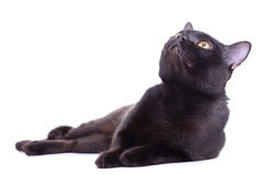 Adult black cat Stock Images