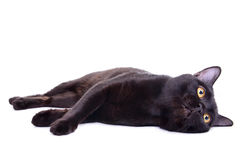 Adult black cat Royalty Free Stock Image