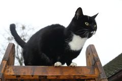 Adult black cat with white end of paws, muzzle and neck and with big shining yellow eyes stands on a brown wooden step ladder and. Lurks. Behind cat is light Royalty Free Stock Image