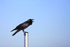 Adult black crow calling loud. Adult black crow calling from a post Royalty Free Stock Photos
