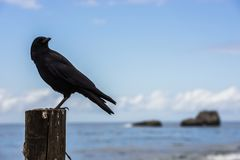 A crow perched on a wooden pole next to the Pacific Ocean in Big Sur, California, USA. royalty free stock images