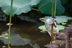 Adult black-crowned night heron balancing on a lotus stem to hunt fish in a pond at Taipei Botanical Garden Stock Photos