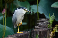 Adult black-crowned night heron hunting for food in lotus pond at Taipei Botanical Garden Royalty Free Stock Images