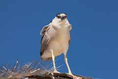 Adult Black-crowned Night Heron, Nycticorax nycticorax Royalty Free Stock Photography