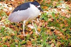 Adult black-crowned night heron Stock Photos