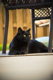 Adult Black Domestic Short Hair Stray Feral Cat Laying on Patio Under Chair Stock Images