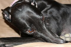 Adult Black Female Greyhound. Dog laying on couch royalty free stock photography