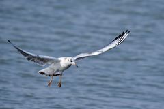 Adult black-headed gull Royalty Free Stock Images