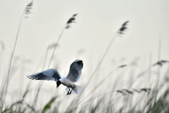 Adult black-headed gull in flight, Royalty Free Stock Photos