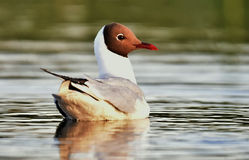 Adult black-headed gull on the water Royalty Free Stock Images