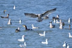 Adult black-headed gull Stock Images