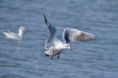 Adult black-headed gull Stock Photo