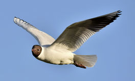 Adult black-headed gulls in flight, Stock Image