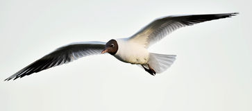 Adult black-headed gulls in flight, Royalty Free Stock Image