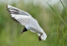 Adult black-headed gulls in flight, Royalty Free Stock Photo