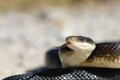 Adult Black Rat Snake Stock Photo