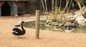 Adult Black Swan Bird Royalty Free Stock Images