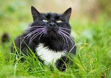 Adult black and white cat Stock Images
