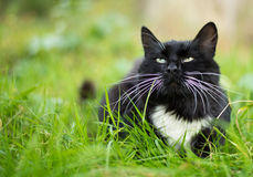 Adult black and white cat Royalty Free Stock Image